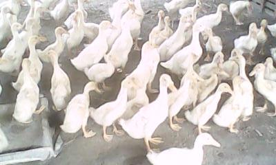Mempercepat Pertumbuhan Bebek Pedaging Bebeksuper22